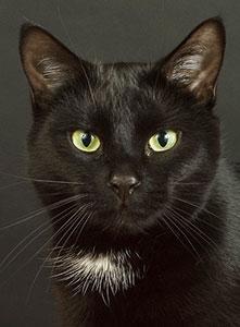 گربه سیاه